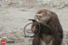 藏酋猴自断前臂求生