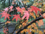 杭州灵隐路红叶已经六七分红,现在起至12月中旬都是最佳欣赏时间