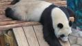 """大熊猫在沈阳的年夜饭将有""""八道菜"""" 看看都有啥"""