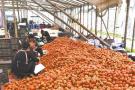 6万吨番茄滞销愁煞苍南农户续:瓯海苍南联动千箱番茄被抢购一空