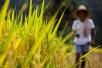 """中国首批""""海水稻""""明年诞生 会影响环境吗?释疑"""