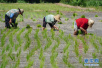 二千五百九十畝涉嫌違規種植 他們為啥偷種轉基因玉米