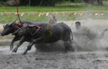 【组图】水牛狂奔激起水花!泰国曼谷水牛比赛场面壮观有趣