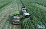 塞北:青贮玉米忙秋收