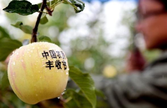 河南灵宝苹果丰收了 过去论产量 现在论价格
