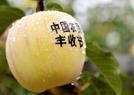 秋天苹果丰收现场