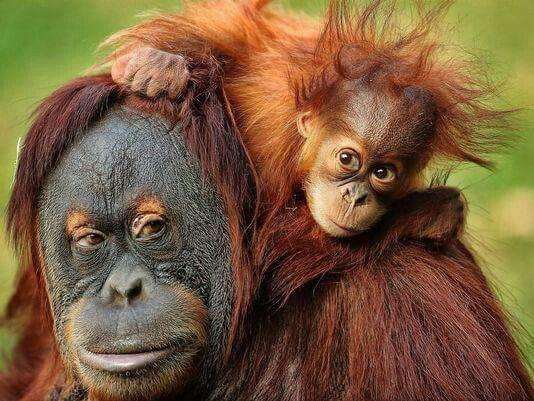 测试显示红毛猩猩会自制工具
