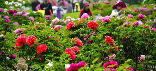 山东菏泽:花开富贵迎客来