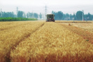 今年河南省夏粮总产量达749.08亿斤 再创历史新高