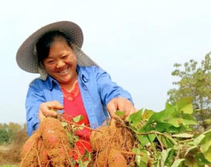 南阳桐柏县:小红薯成为扶贫大产业