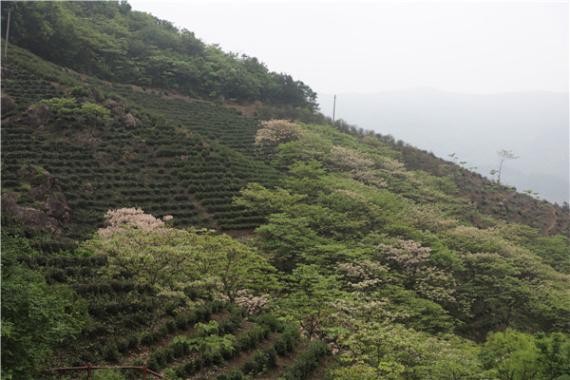 河南商城:一片茶叶托起山村致富梦