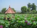 大连旅游景点推荐:普兰店区千年古莲公园风景区