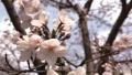 南京明孝陵樱花园本周末进入盛花期