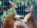 动物园里袋鼠打架