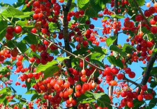 山遍野种的都是樱桃树.很多农民正在樱桃树下施肥或修剪树枝.这是图片