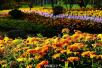 日湖公园展出2.4万株菊花 持续开花至11月底