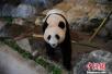 """三只旅日大熊猫即将返回家乡""""谈婚论嫁""""(图)"""