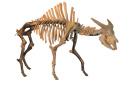 大连自然博物馆:最北方的水牛——王氏水牛