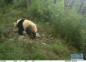 探秘野生大熊猫