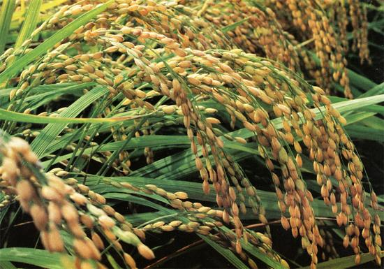美国人先吃,中国转基因抗虫水稻获美国食用许可