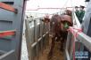 首批澳大利亚肉牛运抵浙江 浙江宁波舟山港肉牛走下轮船