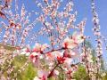 平凉泾川的桃花美景