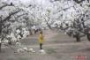 大兴梨花旅游文化节开幕 预计花期将持续至4月15日