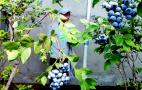 平度明村蓝莓熟了!160元一斤