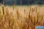 又到小麦成熟时 麦田一片金灿灿