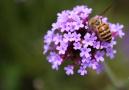 紫色马鞭草盛开正艳