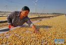 河北昌黎:可持续扇贝养殖助环保渔业双赢