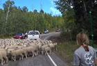 美高速路现绵羊堵路
