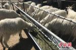 """""""羊貴妃""""來了:多地羊肉價格較去年上漲超30%"""