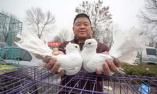 一只信鸽卖出10万元高价