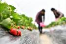 草莓是最脏水果?食品安全谣言怎么治