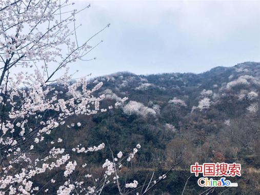 河南新县:樱花怒放早报春