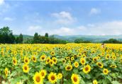 新县陆湾村:花海经济带动乡村旅游