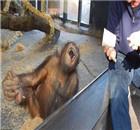 大猩猩被魔术逗乐