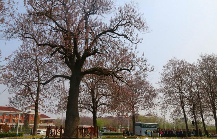 """焦裕禄亲手栽种的一棵泡桐,如今已经长成参天大树,兰考人民亲切地称之为""""焦桐""""。繁茂的枝丫、挺拔的树干,不仅见证了兰考大地的沧桑巨变,也鼓舞着兰考人民不断开拓进取。"""