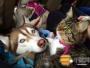 被3只哈士奇养大的喵,它竟真的以为自己是只狗!