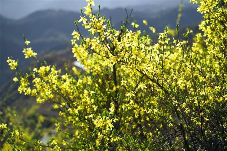 """领略过汉中油菜花的壮观,欣赏过婺源油菜花的秀美,闻听兴化千垛油菜花独具特色,心中最恋的还是太行山那漫山遍野的金黄。春天的太行,绵延的连翘争相吐艳。晴空下,金灿灿的花连绵起伏,犹如太行山金色的""""披肩"""",这璀璨的,耀眼的,张扬的金黄与古屋、远山、白云交相辉映,妆点出一个美轮美奂的魅力太行。中国搜索发(白开水 摄影)"""