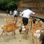 注意:当日本鹿给你鞠躬时 你已经很危险了……