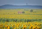 三千亩向日葵盛开