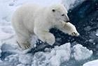 近距离观察北极熊