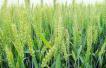 我国首个杂交小麦产业化基地落户河南邓州