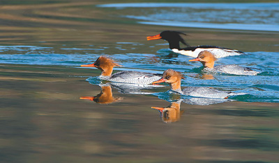 洞庭湖越冬水鸟创10年新高