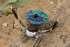 孔雀蜘蛛迷人的美