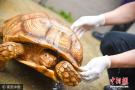 非洲巨龟萌到广州