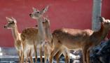 在故宫博物馆展出的9只梅花鹿
