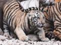 12只小老虎